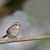 White-throated Sparrow @ Highbanks MP - April 2012