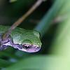 Gray Tree Frog (Juvenile) @ Highbanks MP - July 2010