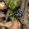 Black-and-White Warbler @ Shawnee State Park - April 2014