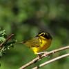 Kentucky Warbler @ Shawnee State Park - April 2014