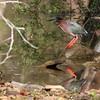 Green Heron @ Shawnee State Park - April 2014