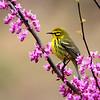 Prairie Warbler @ Shawnee State Park - April 2014