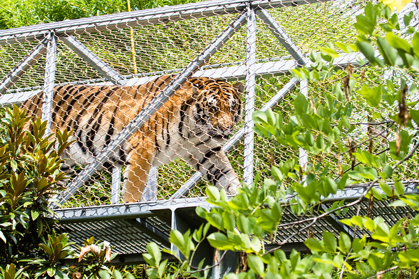 a tiger stalking through the Philadelphia Zoo's Zoo360, a path for (some of) the animals