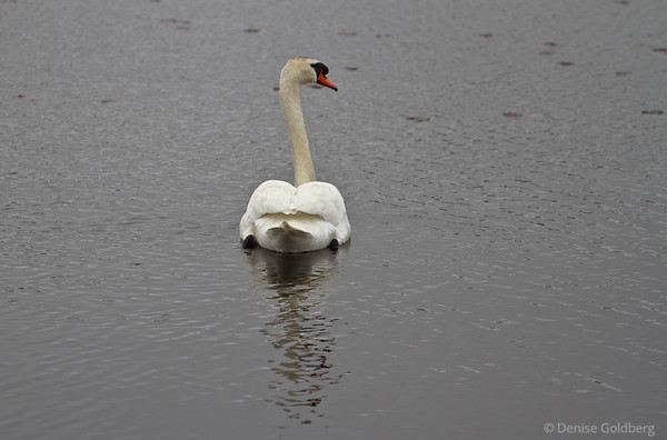mute swan, paddling away