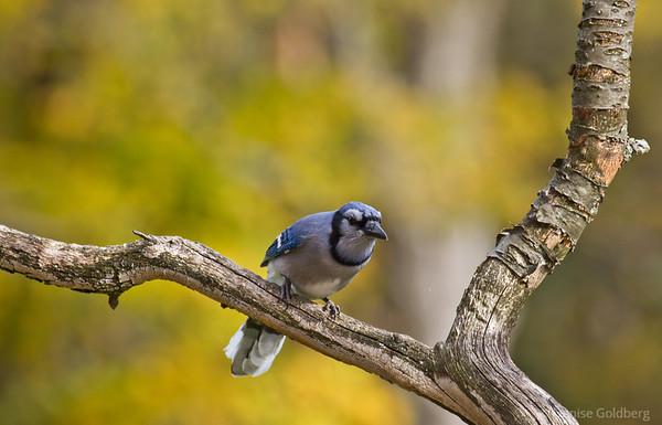 pretty in blue, blue jay posing