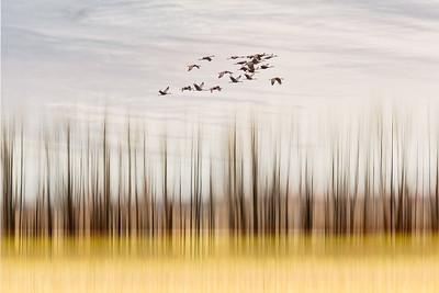 Sandhill Crane Migration #6