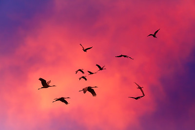 Sandhill Crane Migration #1