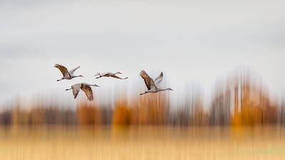 Sandhill Crane Migration #3