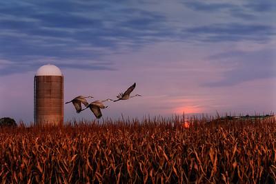 Sandhill Crane Migration #7