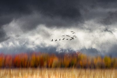 Sandhill Crane Migration #5