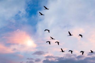 Sandhill Crane Migration #2