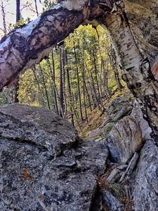 Birch in the Bearlodge, Wyoming