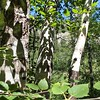 Summer Paper Birch, Spearfish Canyon