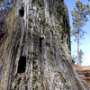 Mossy ponderosa pine stump in Custer State Park, SD