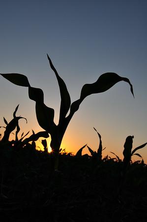 Sunset on Corn