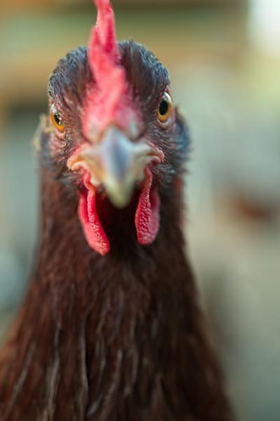 chickens_IMG5407