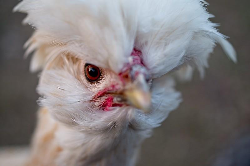 chickens_IMG5449