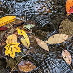Leaves Floating in Creek, Rain, Morris Park