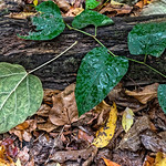 Green Vine Leaves on a Log, Morris Park