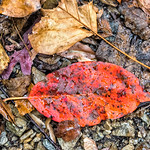 Wet Orange Red Leaf, Morris Park