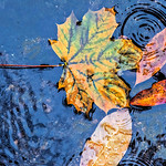 Four Touching Leaves in Water, Morris Park
