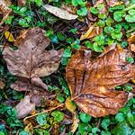 Wet Orange Leaf, Brown Leaf, Morris Park