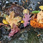 An Arc of Leaves on Rocks, Rain, Morris Park