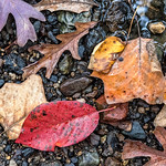 Wet Colored Leaves on Rocks, Morris Park