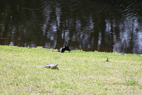 March 2009 -  Iguanas and Anhinga - in our back yard