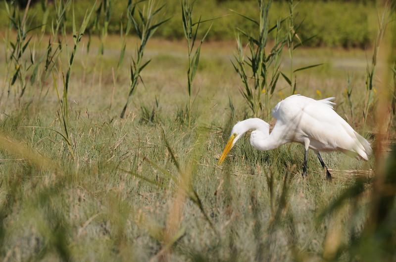 Egret on the Jones River Salt Marsh