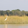 Egret in the Jones River Salt Marsh (2014)
