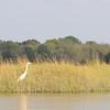 Egret in the Jones River Salt Marsh (2014)