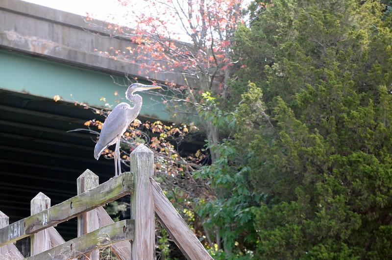 Great Blue Heron by the Jones River Landing