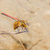 Band-winged Meadowhawk (Sympetrum semicinctum)