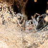Burrowing Wolf Spider