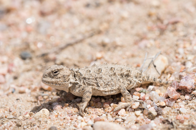 Hernandez's Short-horned Lizard
