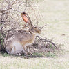 Blac-tailed Jackrabbit