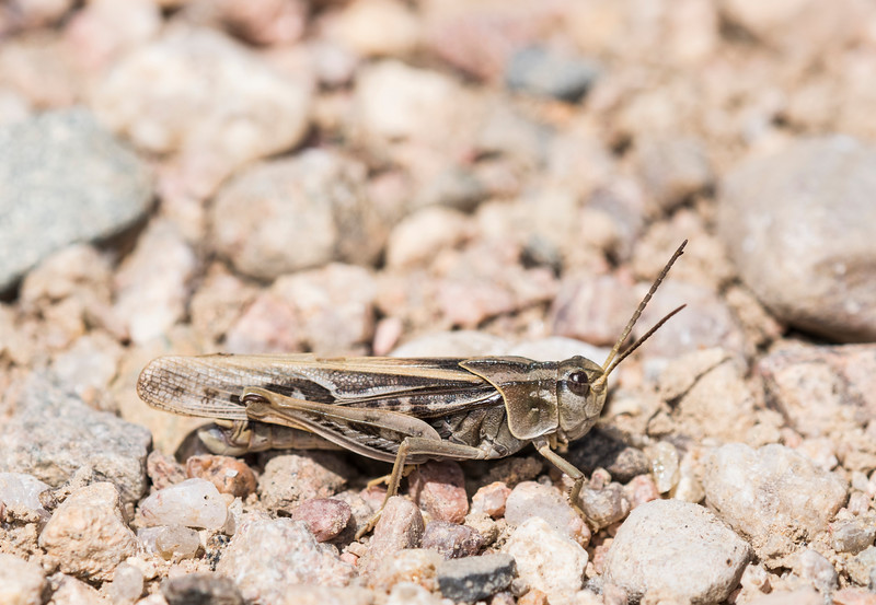 Pardalophora aciculate<br /> Coral-winged Grasshopper