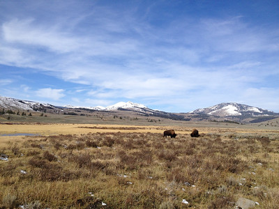 Grazing Bison, Yellowstone