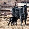 "Calf nurses from its mother at the Three V Ranch.<br /> <br /> You can own this print. Just click ""buy."""