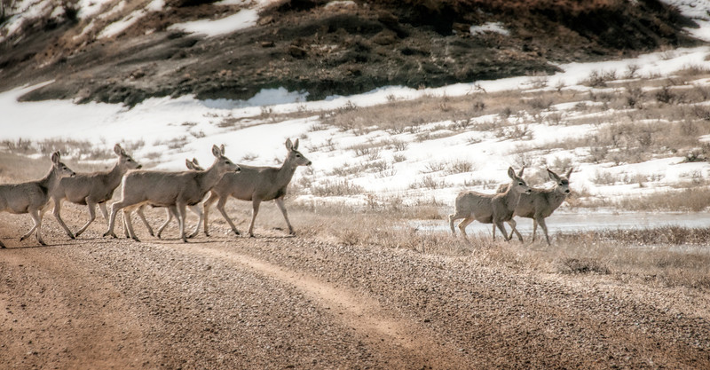 "mule deer cross the gravel road of highway 16 near Marmarth.<br /> <br /> You can own this print. Just click the ""buy"" button for product options."