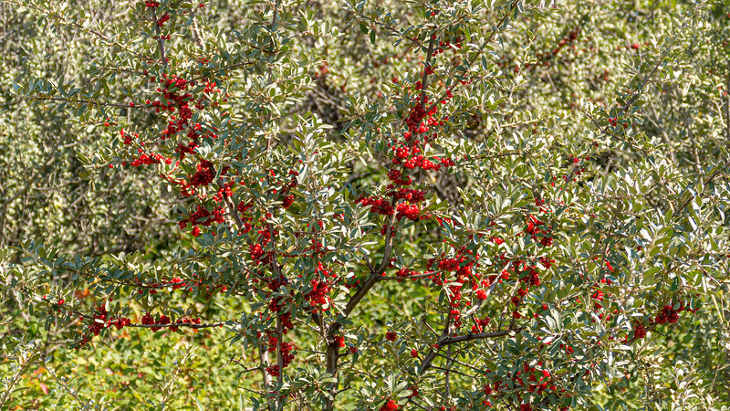 Buffalo Berries on the Nux Baa Ga Trail, Indian Hills, North Dakota