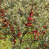 Buffalo Berries on the Nux Baa Ga Trail, Indian Hills, North Dakota