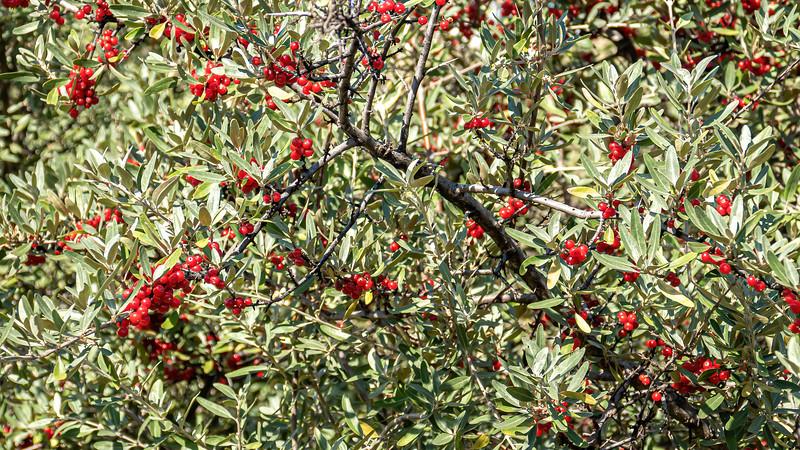 Buffalo Berries Begin to Ripen on the Shores of Lake Sakakawea, North Dakota