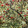 Buffalo Berries Begin to Ripen on the Shores of Lake Sakakawea, North Dakota