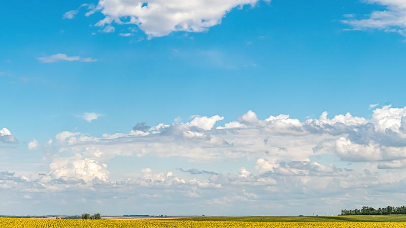 Sunflower Fields Near Indian Hills in North Dakota