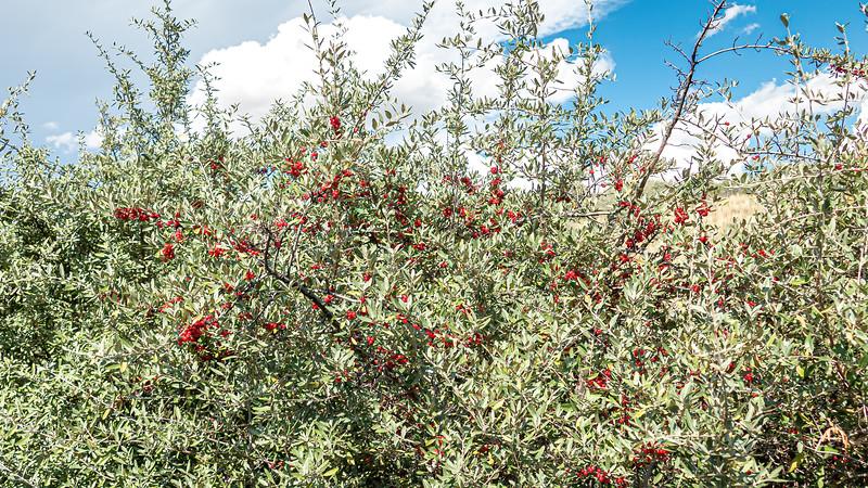 Abundance of Buffalo Berries on the Shores of Lake Sakakawea, Indian Hills, North Dakota