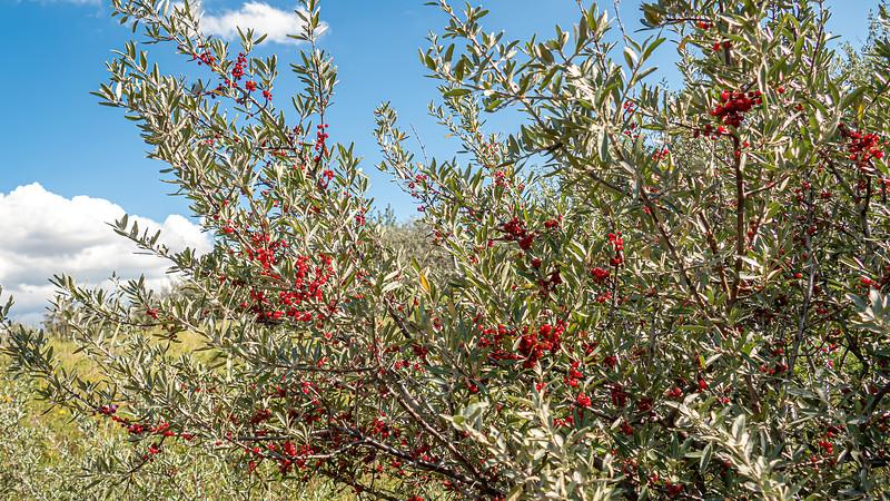 Buffalo Berries Along the Nux Baa Ga Trail, North Dakota