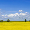Summer Canola Fields Near Indian Hills, North Dakota
