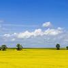 Summer Canola Fields Near Indian Hills, North Dakota
